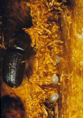 Douglas-fir beetle and eggs
