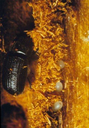 Douglas-fir beetle and eggs