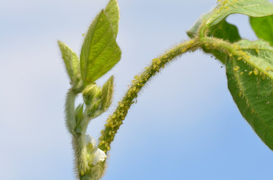 soybean aphids (Aphis glycines)