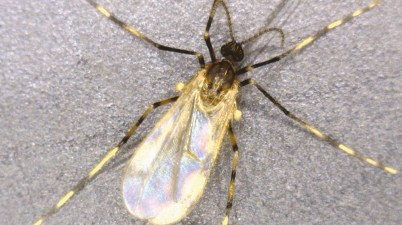 soybean gall midge adult - Resseliella maxima