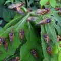 cicada group