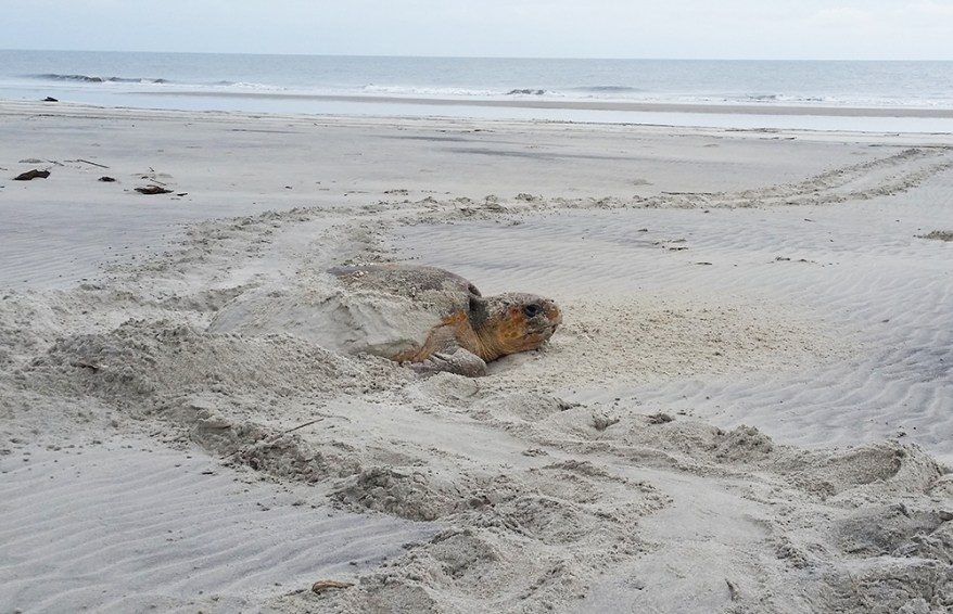 Loggerhead sea turtle nesting on Cumberland Island, Georgia
