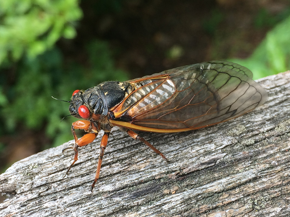 Brood's Clues: New Mapping Approach Puts Cicadas in Focus