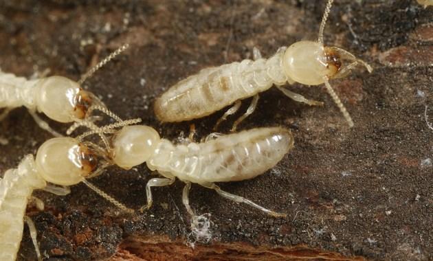 Reticulitermes flavipes termites