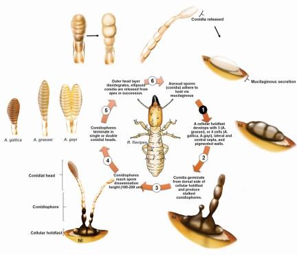 Antennopsis ectoparasitic fungi