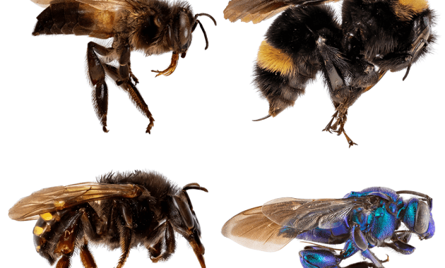 corbiculate bees
