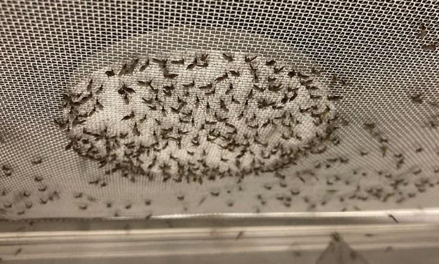 mosquitoes feeding