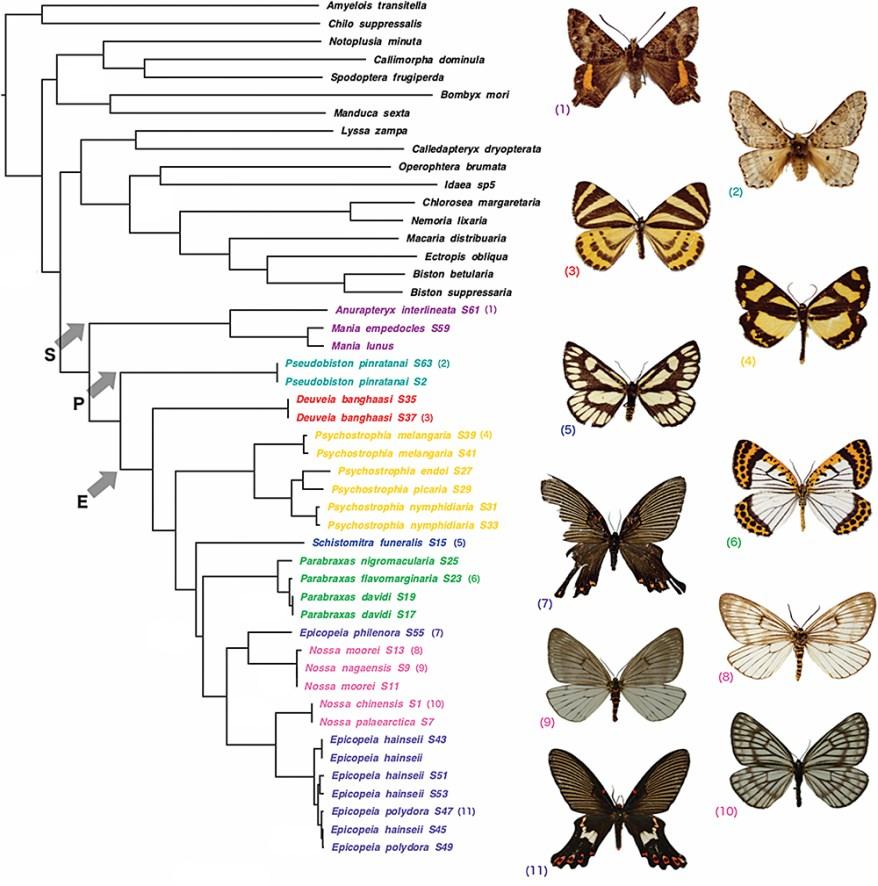 Phylogeny - Sematuridae, Pseudobistonidae, Epicopeiidae