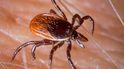 blacklegged tick (Ixodes scapularis)