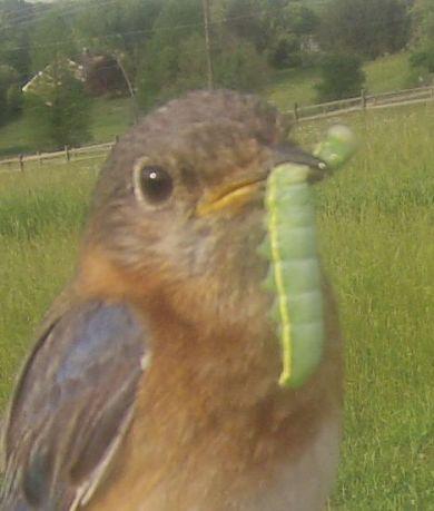 Eastern Bluebird with Amphipyra pyramidea