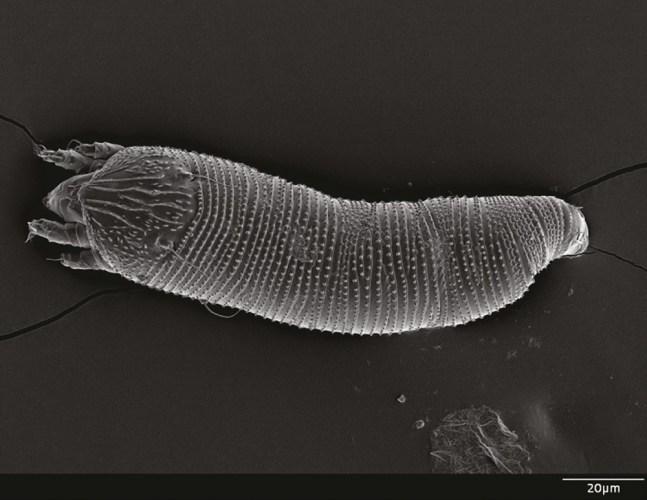Aceria cynodoniensis mite