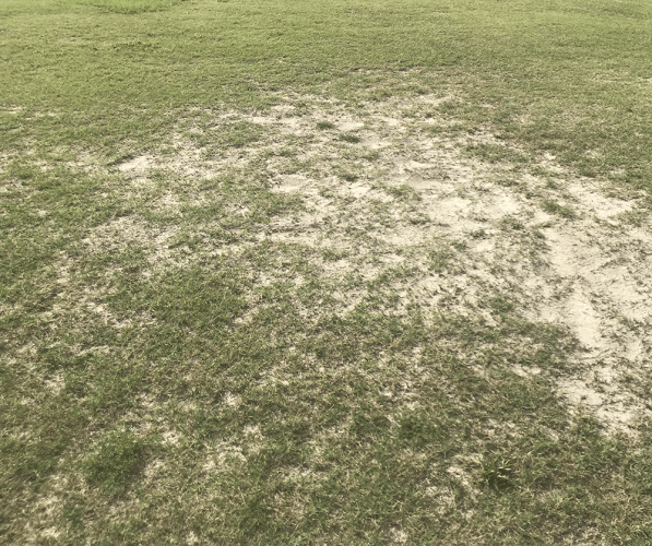 infested turfgrass