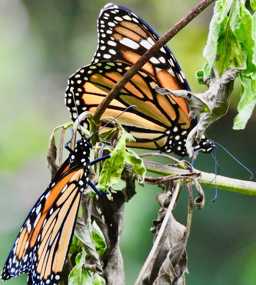 Monarch butterfly pair at withered boneset leaves
