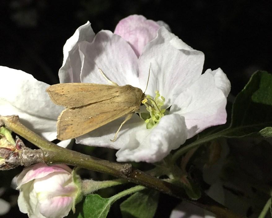armyworm moth (Mythimna unipuncta) on apple flower