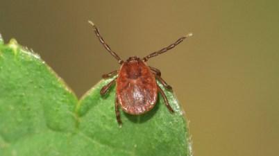 Haemaphysalis longicornis tick