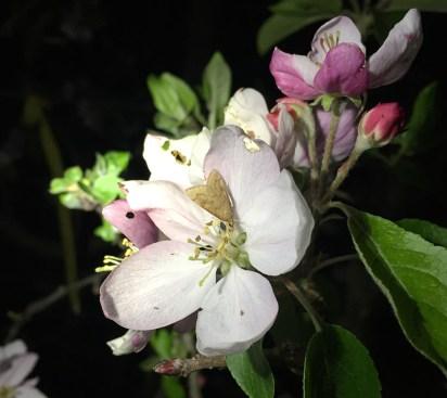 Udea rubigalis moth on apple flower