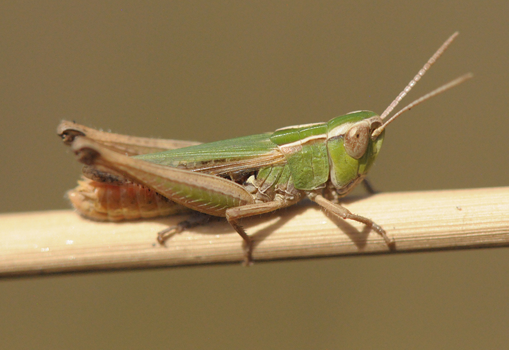 What Explains the Genetic Diversity of an Iberian Grasshopper? Ice, Ice, Baby