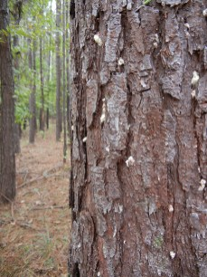 southern pine beetle infestation signs
