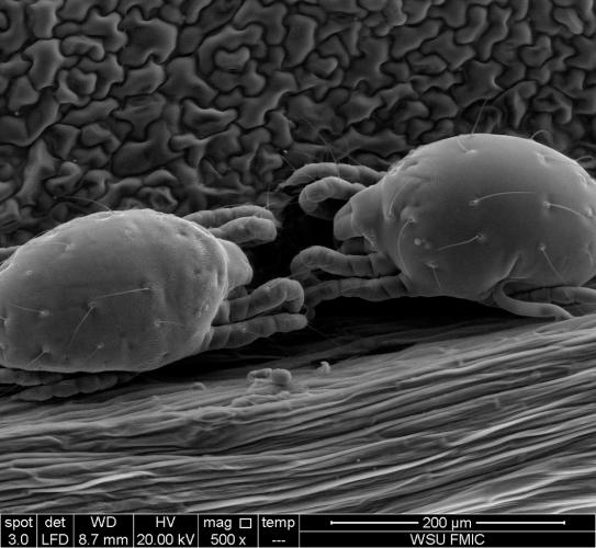 twospotted spider mite nymphs