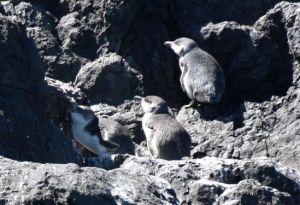 pohatu penguins_4