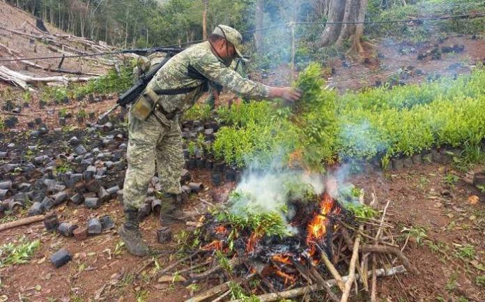 Narcos mexicanos incursionan en el cultivo y producción de coca – Las  Noticias de Chihuahua – Entrelíneas