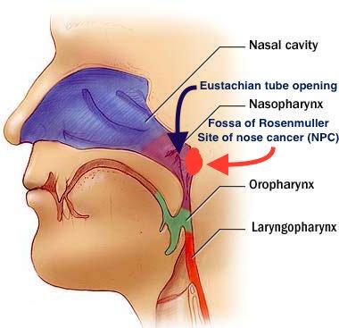 Nasal Eustachian Diagram Diy Enthusiasts Wiring Diagrams