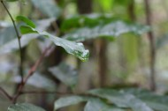 Drip leaves are designed so that water efficiently runs off them after it rains.