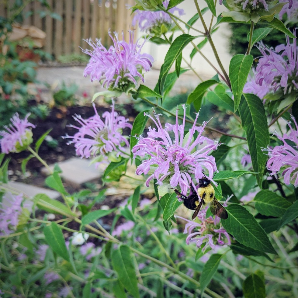 A bee rests on a purple bee balm blossom.