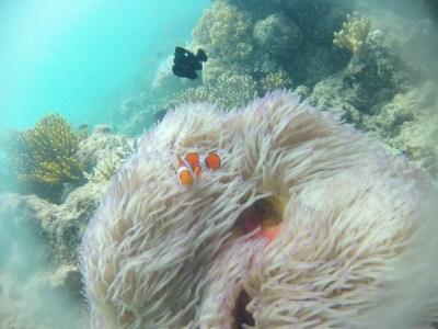 poisson-clown-grande-barriere-de-corail