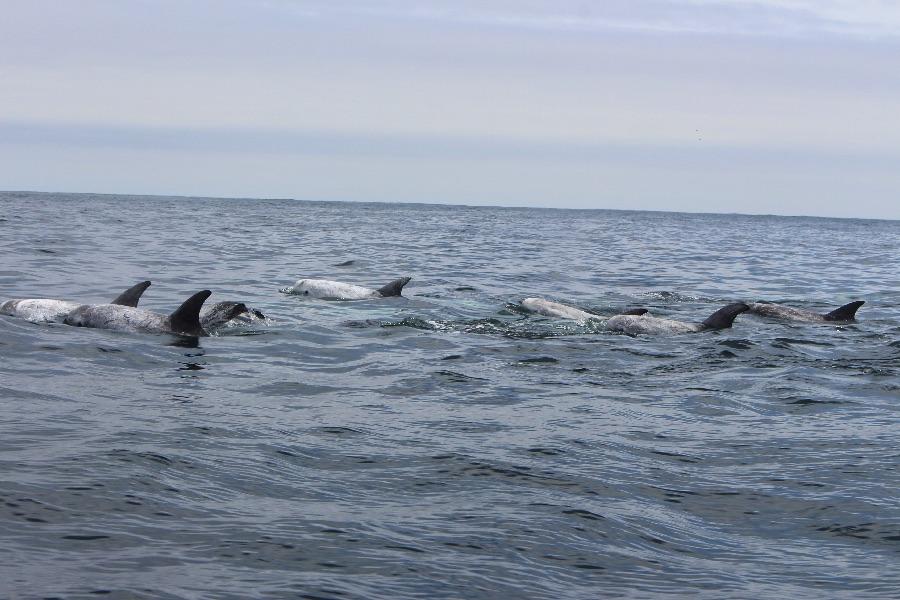 dauphins-chili