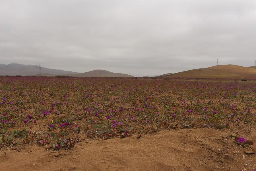 desert-fleuri
