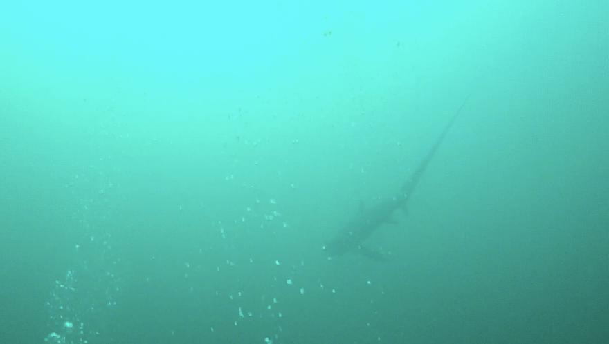 requin-renard-malapascua