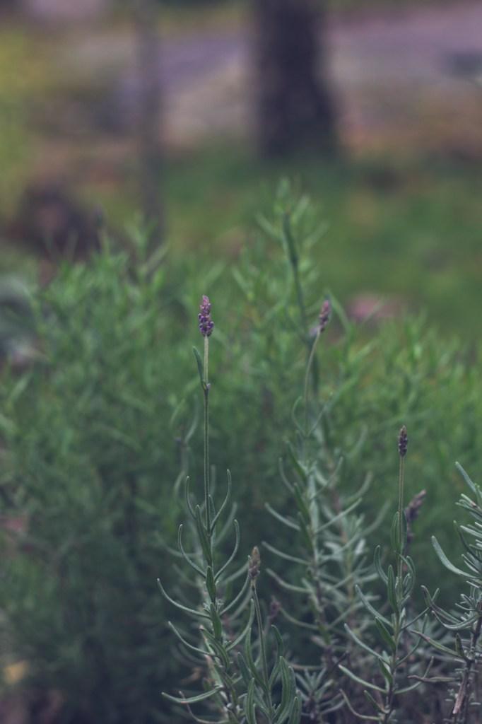 Lavendel under höst i örtagården.