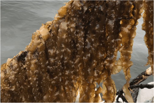 Can seaweed farming help fight climate change?
