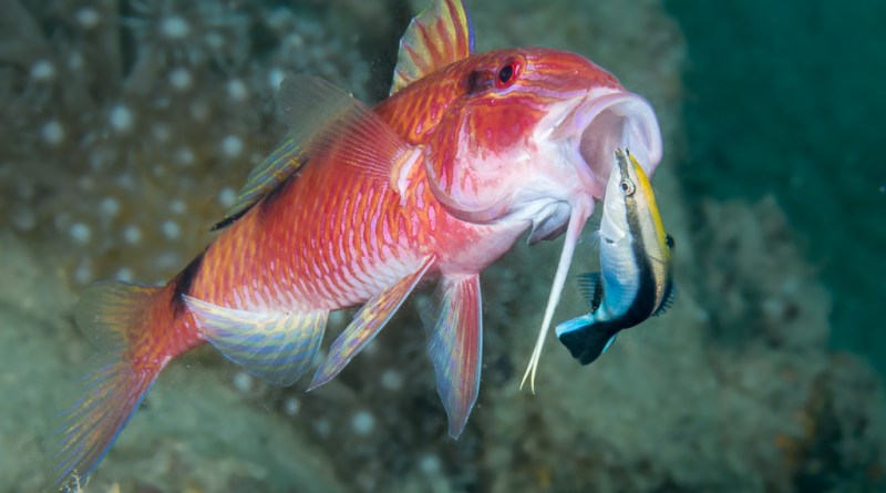 Ocean envirobites little fish big job how the absence of a small cleaner wrasse causes parasite infestation to rise publicscrutiny Image collections