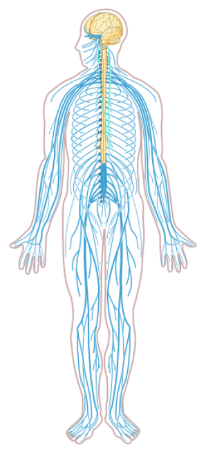 Nervous_system_diagram_unlabeled