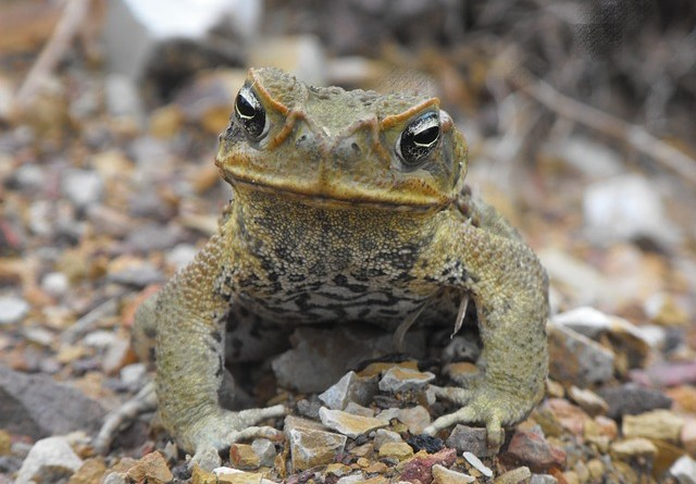 Frostbitten Toads Are Cane Toads Adapting To The Cold As They Move Northwards In Florida Envirobites