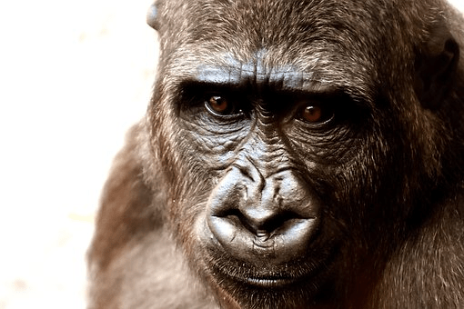 Recycling Old Cell Phones to Benefit Gorillas
