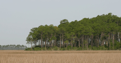 Pine trees growing next to marsh.
