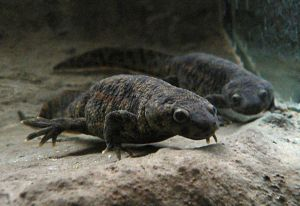 Two newts swimming in a large tank