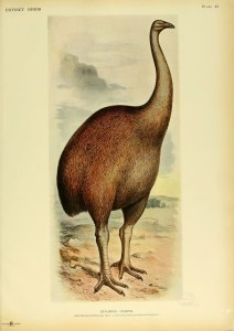 A drawing of a large brown bird that looks somewhat like an ostrich with a smaller head.