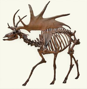 A fossilized Irish Elk skeleton that looks like a moose skeleton with much larger and spikier antlers.