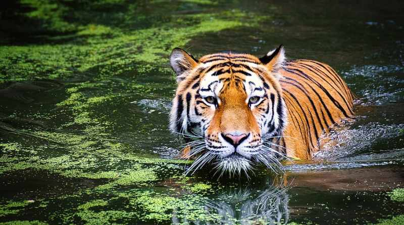 Large adult tiger partially submerged in water with a film of algae on the surface.