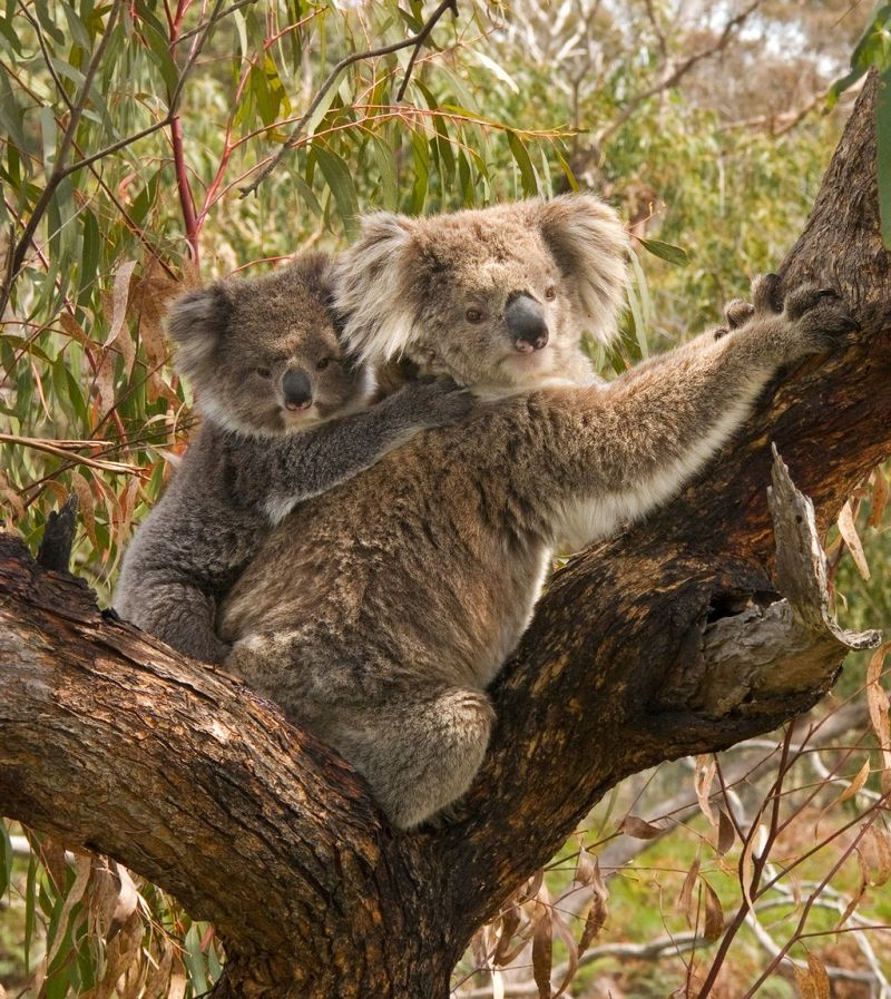 A cuddly baby koala sits sits on its mom's back.