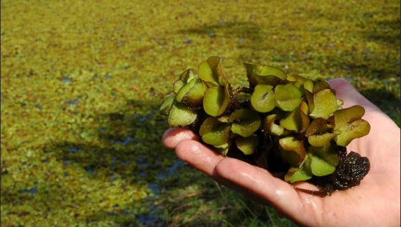 A newly arrived fern makes a splash in freshwater ecosystems