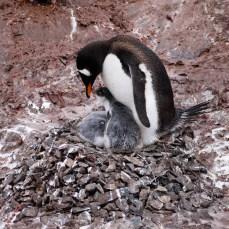 Adele Penguin Nest, Cuverville Island, Antarctica