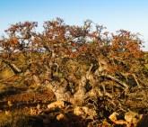 Fig Tree, Barrow Island