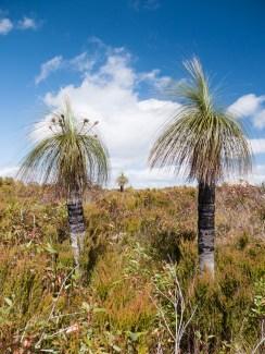 Grass trees, Mt Lindesay, Denmark
