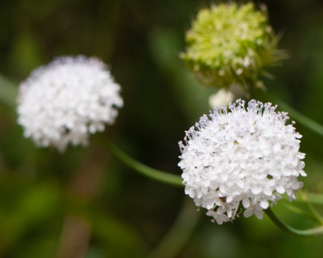 Wildflowers, Castle Rock, Porongurup National Park