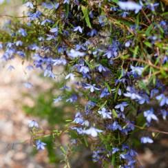 Wildflowers, Mount Toolbrunup, Stirling Range National Park